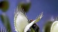 专业摄像师拍摄的捕蝇草捕食瞬间
