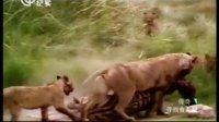 寻找食人狮 130525 传奇