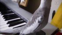 会唱歌的玄凤鹦鹉!好萌好可爱!【谷姐特搞队】