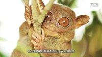 煎蛋小学堂:关于眼镜猴的真相