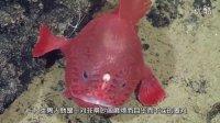 煎蛋小学堂:关于琵琶鱼的真相