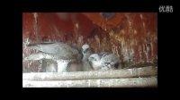 【中华鹰鹘苑】芬兰苍鹰哺育雏鹰 鹰猎视频