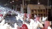 鸡的饲养3