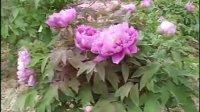 菏泽牡丹品种欣赏--紫色系