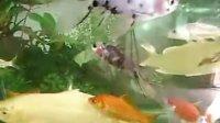 我的锦鲤鱼
