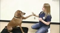【神奇项圈 宠物防爆冲胸背训练系列】DOG TRICKS --Waving