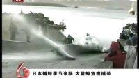 日本披着学术研究的外衣大量蒱杀鲸鱼