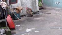 斗鸡:芦花VS板凳红(败口)