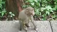 金鞭溪里的猴子