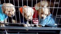 鞍山  南洋养殖场   出售 金毛 幼犬 QQ:627205734