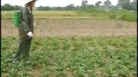 根茎类蔬菜病虫害防治
