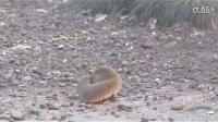超可爱的小松鼠觅食