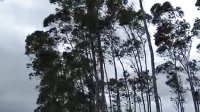 20130802广东-飞燕逼近 风中的树木经济作物