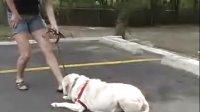 【防爆冲胸背训练系列--EWH 拉拉训练之狗狗躺下】