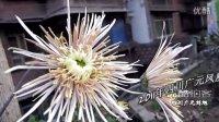 [拍客]2011年四川广元凤凰山公园赏菊花