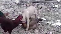 狗狗爱上鸡