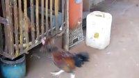 斗鸡:小红雀挑战大鸡