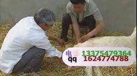 小尾寒羊高效饲养技术,养羊技术视频,肉羊养殖场