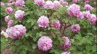 菏泽牡丹品种欣赏--粉色系