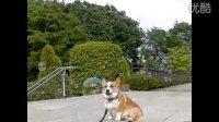 柯基犬Goro与日本四季的风景