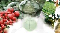 小球藻(绿藻)简介