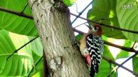 啄木鸟-拍摄纪录2012.11.