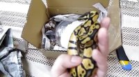ball python 宠物蛇