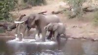 鳄鱼袭击喝水大象惊险瞬间