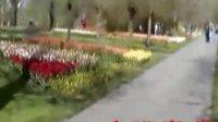 荷兰校园里的郁金花