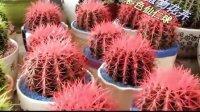 植物花卉 广元彩色仙仁球