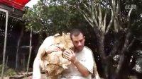 男子与两头狮子相处的温馨一幕