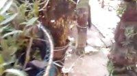 漳浦农民创业园模拟野生环境下的铁皮石斛