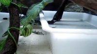 双冠蜥捕鱼全过程