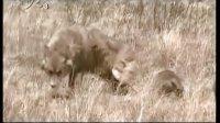 奇趣大自然-草原苍狼1