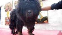 獒响中国原生藏獒繁育基地出售大小藏獒 藏獒视频【阿瓦】