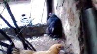 双黄蛋鸡下双黄蛋过程