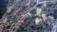 神秘的红豆树(2)