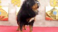 獒响中国原生藏獒繁育基地出售大小藏獒 藏獒视频【毛从】