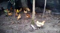 乡源农场 一群鸡