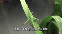 蝗虫的成长从卵到成虫