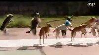 宠物狗【13只】-集体跳绳吉尼斯