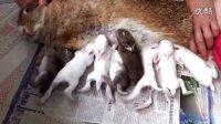 7月28日中午棕兔喂奶