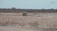 犀牛 vs狮群