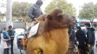 来看看,某人是怎么骑骆驼逛街!