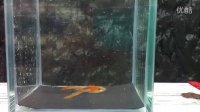 台湾安仕的珊瑚紅雙劍真紅眼