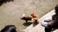 【彝寨汉子】贵州省毕节市七星关区三官彝寨2014马年春节斗鸡