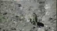 我国科学家首次拍下雪豹录像曝光