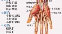 [中山大学][人体解剖学][36课]15