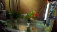 临沂老崔-我的全红白子孔雀鱼1