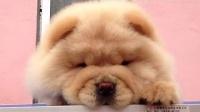 山东精致犬舍(玲珑与黑妞的宝宝)53天奶油色松狮公犬。